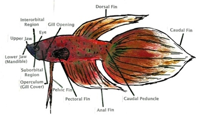 Betta biology diagram.