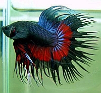 Blue black and red crowntail betta