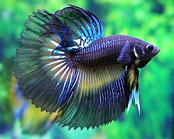 Blue and purple betta