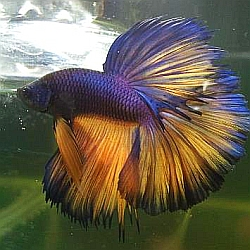Purple orange betta