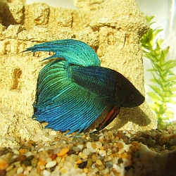 Blue-green betta