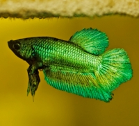 Bright green betta