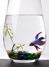 Betta in a vase