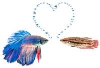 Male and female betta with a heart