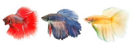 Red blue and yellow betta