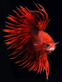 Red-orange betta