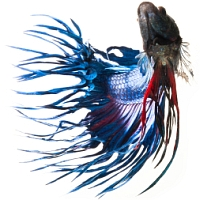 Blue and red betta turning