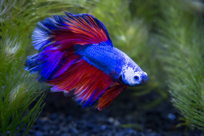 Betta Feeding - More Human Than We Think