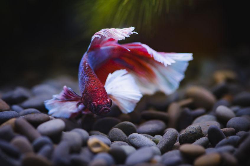 Betta Fish Aquarium Behavior