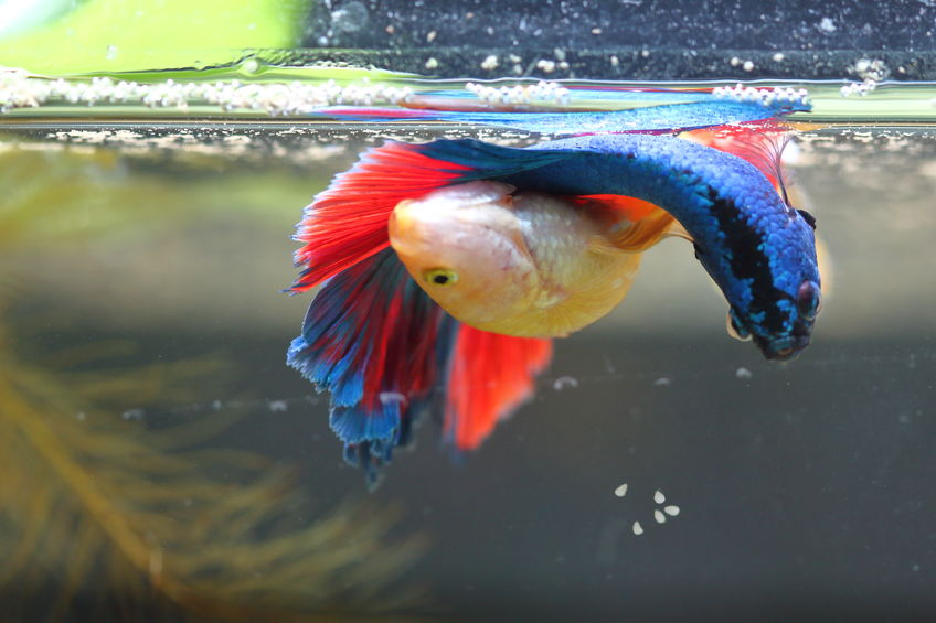 Breeding Betta Fish