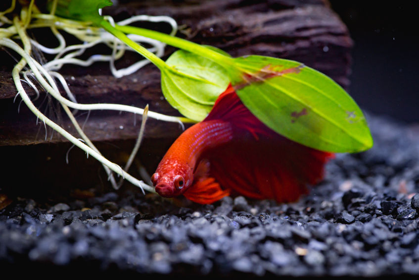 History of the Beloved Betta Fish