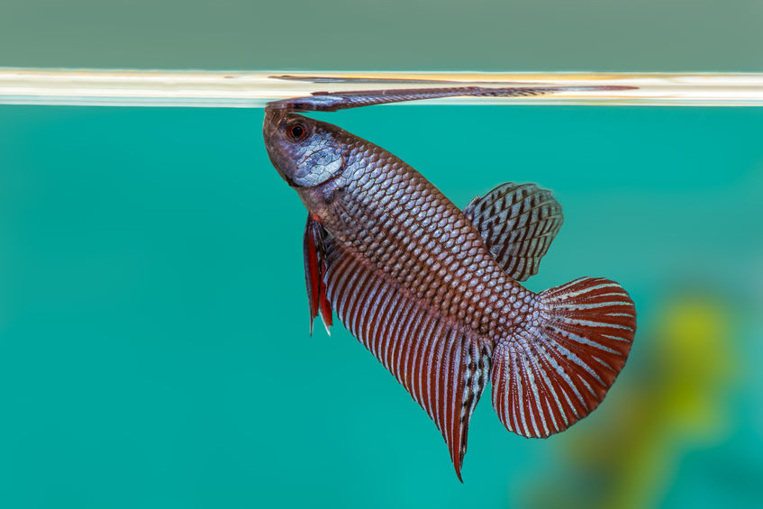 How Does Your Betta Survive in the Water?
