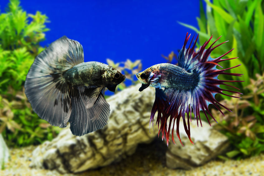 Siamese Fighting Fish – World's Most Popular Aquarium Fish