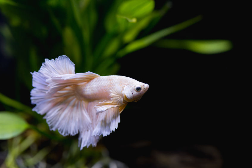 Gold half moon betta fish