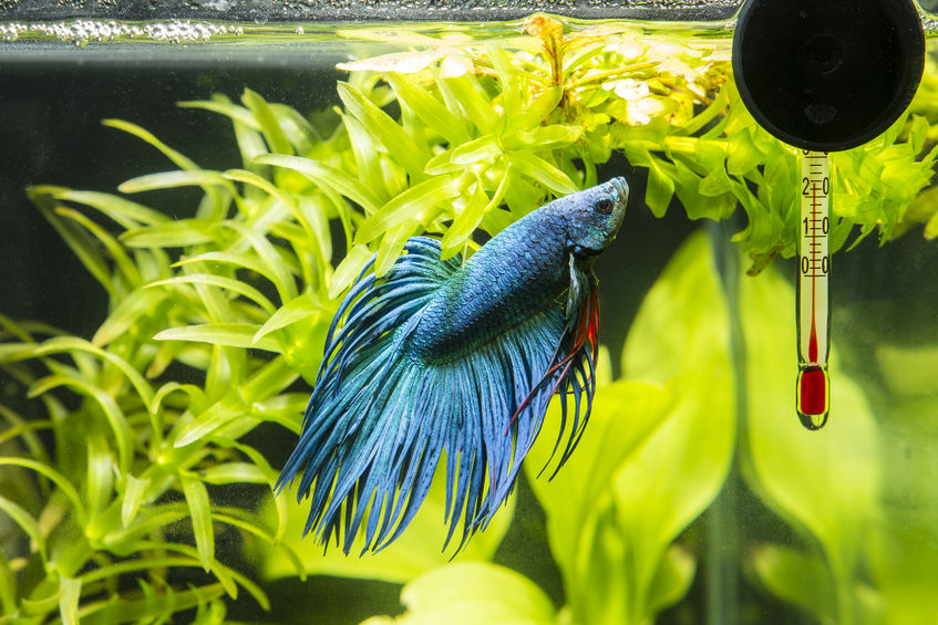 FAQ about Betta Fish Diseases